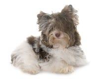 Yorkshire terrier del biro del cucciolo immagini stock