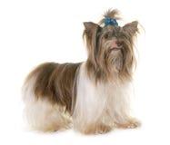 Yorkshire terrier del biro del cucciolo fotografie stock