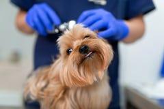 Yorkshire terrier del cane dell'esame di medico del veterinario con l'otoscopio Concetto della medicina dell'animale domestico Cl fotografie stock