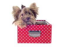 Yorkshire terrier del cioccolato Fotografie Stock Libere da Diritti