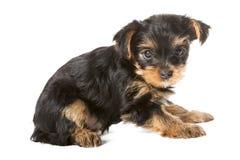Yorkshire terrier del cucciolo immagine stock libera da diritti