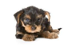 Yorkshire terrier del cucciolo fotografia stock