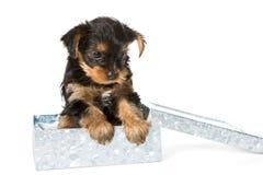 Yorkshire terrier del cucciolo fotografie stock