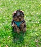 Yorkshire terrier del cucciolo in vestiti su erba Fotografie Stock Libere da Diritti