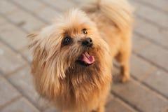 Yorkshire Terrier del perro de Pomerania Imagen de archivo