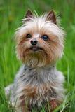 Yorkshire terrier della razza del piccolo cane che si siede sull'erba Immagini Stock Libere da Diritti
