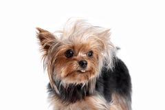 Yorkshire-Terrier, der die Kamera in einem Hauptschuß, gegen einen weißen Hintergrund betrachtet Lizenzfreies Stockbild