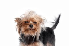 Yorkshire-Terrier, der die Kamera in einem Hauptschuß, gegen einen weißen Hintergrund betrachtet Stockfoto