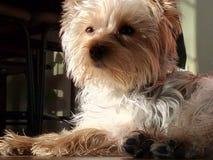 Yorkshire-Terrier, der in die Sonne legt Stockfotografie