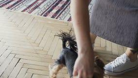Yorkshire-Terrier der Nahaufnahme kleiner Hundemit Eigentümer verbringen einen Tag am Haus, das Spaß spielt und hat stock video