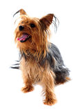 Yorkshire-Terrier, der weg schaut stockfotografie