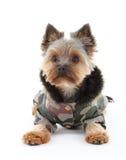 Yorkshire-Terrier in der Winterkleidung stockfotos