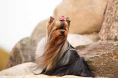 Yorkshire terrier with developing hair Stock Image