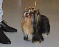 Yorkshire terrier di Biewer Razza del cane Fotografia Stock