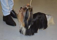 Yorkshire terrier di Biewer Razza del cane Fotografie Stock Libere da Diritti