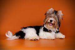 Yorkshire terrier di Biewer sugli ambiti di provenienza colorati immagine stock libera da diritti