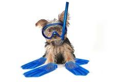 Yorkshire terrier di tema della spiaggia fotografia stock