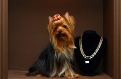Yorkshire terrier with diamonds Royalty Free Stock Image