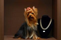 Yorkshire terrier with diamonds. Glamur yorkshire terrier with diamonds Royalty Free Stock Image