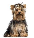 Yorkshire Terrier die een boog, zitting dragen, die de camera bekijken Royalty-vrije Stock Fotografie