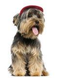 Yorkshire Terrier die een GLB, zitting, het hijgen dragen Stock Afbeeldingen