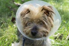 Yorkshire Terrier die een kegel na een verrichting dragen Royalty-vrije Stock Afbeeldingen