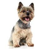 Yorkshire Terrier die op witte studioachtergrond zitten Stock Fotografie