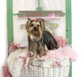Yorkshire Terrier die, voor een rustieke achtergrond opstaan Royalty-vrije Stock Afbeelding