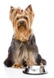 Yorkshire Terrier die voor voedsel bedelen het bekijken camera Stock Fotografie