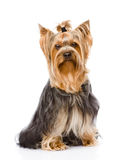 Yorkshire Terrier die vooraan zitten Op witte achtergrond royalty-vrije stock afbeelding