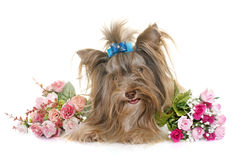 Yorkshire terrier do biro do cachorrinho foto de stock royalty free