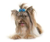 Yorkshire terrier do biro do cachorrinho fotografia de stock