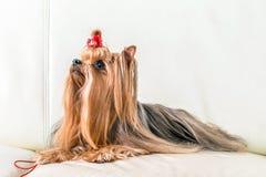 Yorkshire terrier do cão que encontra-se em um sofá de couro Imagens de Stock Royalty Free