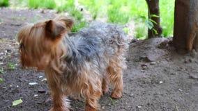 Yorkshire terrier do c?o video estoque