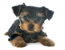 Yorkshire terrier do cachorrinho Foto de Stock