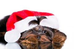 Yorkshire terrier do cachorrinho em um tampão de ano novo fotografia de stock royalty free