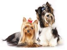 Yorkshire terrier do castor do cão fotos de stock royalty free