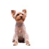 Yorkshire terrier do filhote de cachorro Imagem de Stock Royalty Free