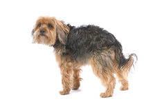Yorkshire Terrier dog Stock Photos