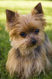Yorkshire terrier dog. Outdoor portrait of Yorkshire terrier dog Stock Photo