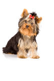 Yorkshire Terrier - Dog Stock Photos