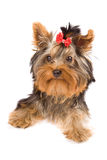 Yorkshire Terrier - Dog Stock Photo