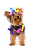 Yorkshire Terrier dog Royalty Free Stock Photo