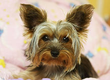 Yorkshire Terrier dog Royalty Free Stock Images