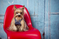 Yorkshire Terrier dog. Little female Yorkshire Terrier dog on a red chair Stock Photography