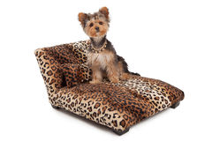 Yorkshire Terrier Dog on Animal Print Bed. A cute Yorkshire Terrier dog wearing a necklace and bow that is sitting on a designer leopard print chaise lounge bed stock photography