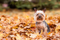 Yorkshire terrier Dog Stock Image