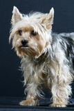 Yorkshire Terrier. Dog on black background Royalty Free Stock Images