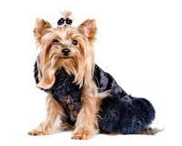 Yorkshire terrier dog in black clothes royalty free stock photo
