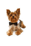 Yorkshire Terrier Dog With Black Tie Stock Images